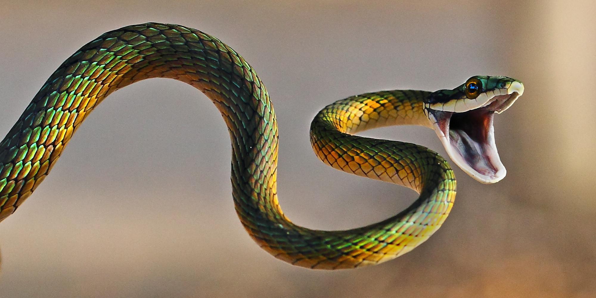 съновник змия